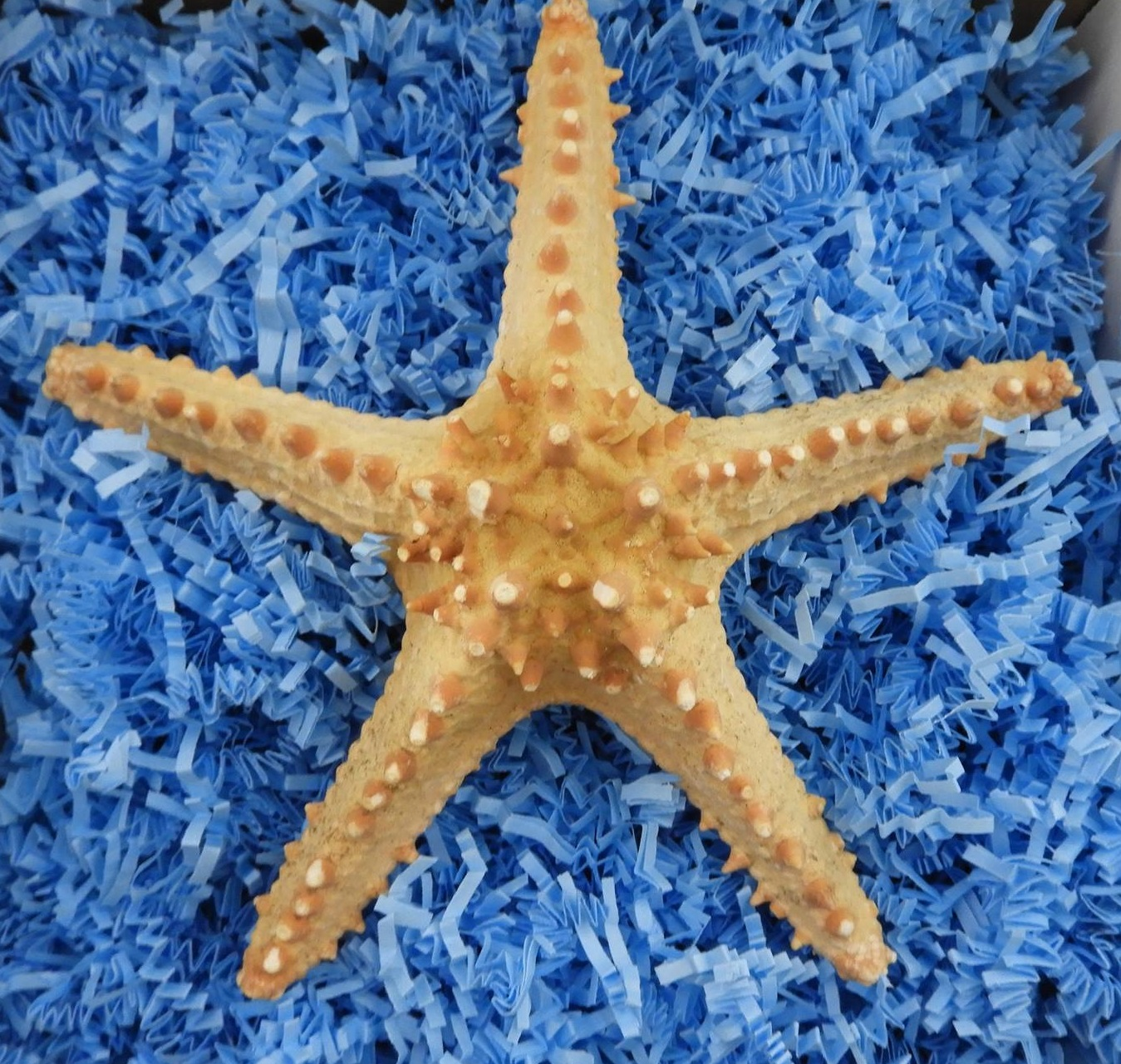 Horned Starfish 8-10 Inches By SeaSationals