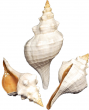 "Florida Horse Conch 12""- 14"" By SeaSationals"