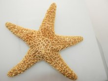 Brown Sugar Starfish 8-10 Inches by SeaSationals