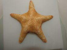Jungle Starfish 8-10 Inches By SeaSationals
