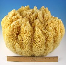 Wool Display Sponge