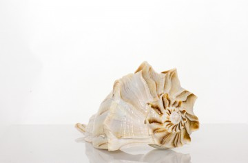 "Florida Lightening Whelk  7-8"" By SeaSationals"