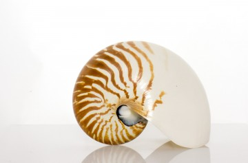 "Natural Nautilus Whole 6"" By SeaSationals"