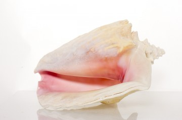 "Slit-Back Pink Conch Shell 8""- 9"" By SeaSationals"